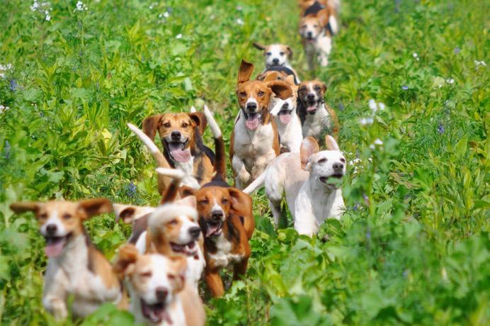 Die Beagles der Vogelsberg-Meute (Foto: Doris Frank-Schneider und rk-fotografie) Roland Kretschmar